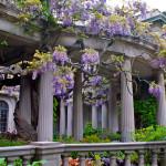 van vleck wisteria