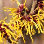 Witch-Hazel-2-resized