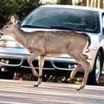 deer_car