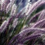 Purple ornamental grass