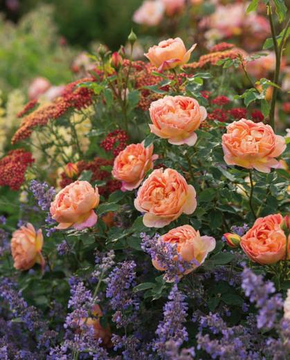 Lady of Shalott - David Austin English Rose