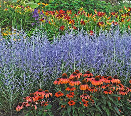 russian sage and echinacea